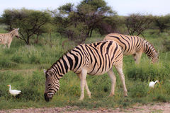 Zebras eating and grazing in the bushes of the park Etosha. Stock Photos