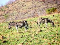 Zebras. Eating in South Africa reservation Royalty Free Stock Images