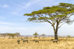 Zebras eats grass at the savannah in Africa Stock Photos