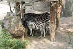 Zebras eet van een het voeden trog Stock Afbeelding