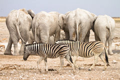Zebras and elephants. Zebras walking with elephants backs in the background stock image
