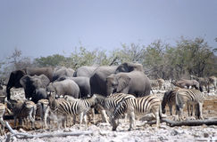 Zebras and elephants Stock Photo