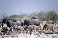 Zebras and elephants Stock Photo