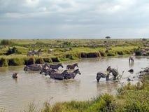 Zebras em África Imagens de Stock Royalty Free