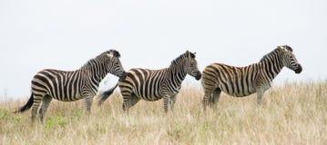Zebras em África Fotos de Stock Royalty Free