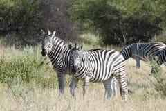 Zebras em África Fotografia de Stock Royalty Free