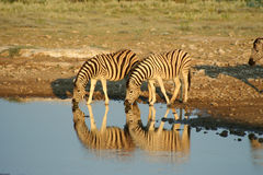 Zebras em Etosha NP, Namíbia fotografia de stock royalty free