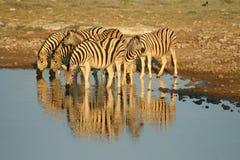 Zebras em Etosha NP, Namíbia fotografia de stock