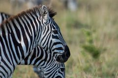 Zebras em Masai Mara imagem de stock royalty free