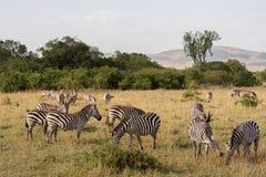 Zebras em Masai Mara imagens de stock