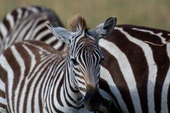 Zebras em Masai Mara fotografia de stock