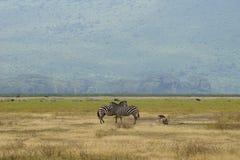 Zebras em Ngorongoro, Tanzânia Imagens de Stock