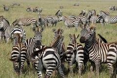 Zebras em Serengeti, Tanzânia Imagens de Stock