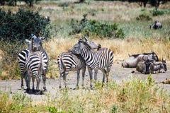 Zebras em Tanzânia Fotografia de Stock Royalty Free