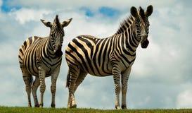 Zebras em um monte Fotografia de Stock