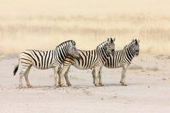 Zebras em uma fileira Fotografia de Stock Royalty Free