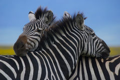 Zebras embracing. Two zebras with their heads on each others back Stock Photography