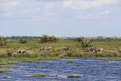 Zebras en antilopen op een vijver Stock Foto's