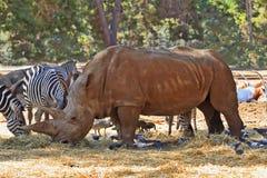 Zebras en de rinocerossen lopen vriendschappelijk Stock Afbeelding
