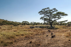 Zebras en everzwijnen Stock Foto