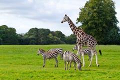 Zebras en giraf Stock Afbeelding