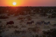 Zebras en GNU royalty-vrije stock afbeelding