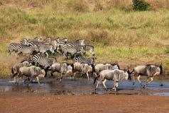 Zebras en het Lopen Wildebeests Royalty-vrije Stock Foto