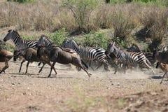 Zebras en het lopen Wildebeests Stock Afbeeldingen