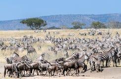 Zebras en het meest wildebeest Stock Foto's