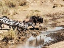 Zebras en het meest wildebeest Stock Afbeelding