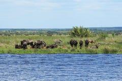 Zebras en het meest wildebeest op een vijver Stock Foto's