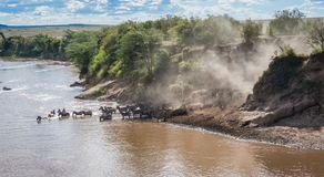 Zebras en het meest wildebeest tijdens migratie van Serengeti aan Masai M stock afbeeldingen