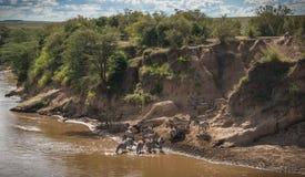 Zebras en het meest wildebeest tijdens migratie van Serengeti aan Masai M Stock Foto's
