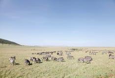Zebras en wildebeests in Masai Mara National Park, Kenia Stock Afbeeldingen