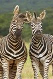 Zebras engraçadas Fotos de Stock Royalty Free