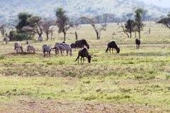 Zebras Equus and blue wildebeest Connochaetes taurinus. Field with zebras Equus and blue wildebeest Connochaetes taurinus, common wildebeest, white-bearded Stock Image