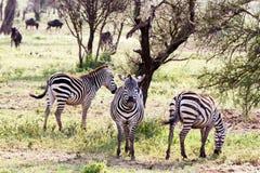 Zebras Equus and blue wildebeest Connochaetes taurinus. Field with zebras Equus and blue wildebeest Connochaetes taurinus, common wildebeest, white-bearded Royalty Free Stock Photo