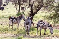 Zebras Equus and blue wildebeest Connochaetes taurinus. Field with zebras Equus and blue wildebeest Connochaetes taurinus, common wildebeest, white-bearded Stock Photos
