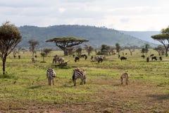 Zebras Equus and blue wildebeest Connochaetes taurinus. Field with zebras Equus and blue wildebeest Connochaetes taurinus, common wildebeest, white-bearded Stock Photo