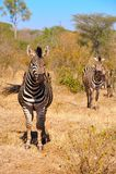Zebras (Equus burchellii) royalty free stock photos