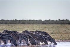 Zebras Equus burchellii in Etosha National Park, Namibia, Africa. Herd of zebras Equus burchellii at a waterhole in Etosha National Park, Namibia, Africa Stock Image