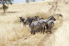 Zebras (Equus burchellii) in the savanna Stock Photography