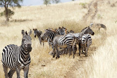 Zebras (Equus burchellii) in the savanna Stock Images