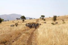 Zebras (Equus burchellii) in the savanna Royalty Free Stock Image