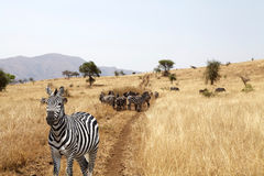 Zebras (Equus burchellii) in the savanna Royalty Free Stock Images