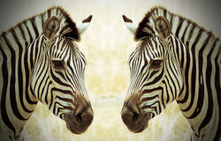 Zebras (Equus quagga)Face to Face in Hwange National Park Stock Photos