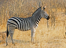 Zebras (Equus quagga) standing in the bush in black Royalty Free Stock Photos