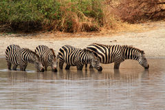 Zebras (Equus quagga) in watering hole Royalty Free Stock Images