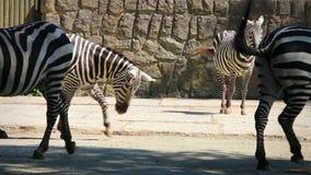 Zebras (Equus-zebra) partij die, (gestabiliseerde) close-uplengte lopen stock footage