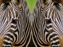 Zebras espelhadas Fotografia de Stock